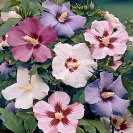 Hardy Hibiscus syriacus (Mixed colours) - pack of 5 London