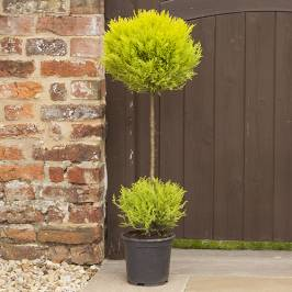 Cupressus Goldcrest Duo Ball Topiary tree 90cm (single) London