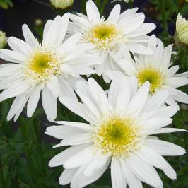 Leucanthemum Highland White Dream x 3 London