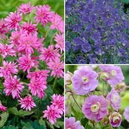 Hardy Double Flowered Geranium Collection - 3 x 9cm Potted Plants London
