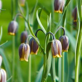 Fritillaria uva-vulpis bulbs pack of 50 bulbs 5/6 London