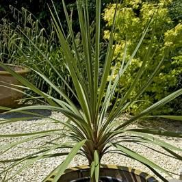 Pair of Cordyline australis (Torbay Palm) green 1M tall plants London